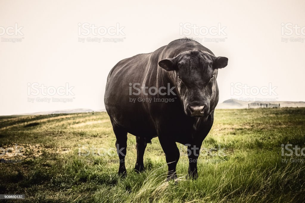 Large Black Angus bull close up with stern expression on his face, standing on Montana prairie grass stock photo