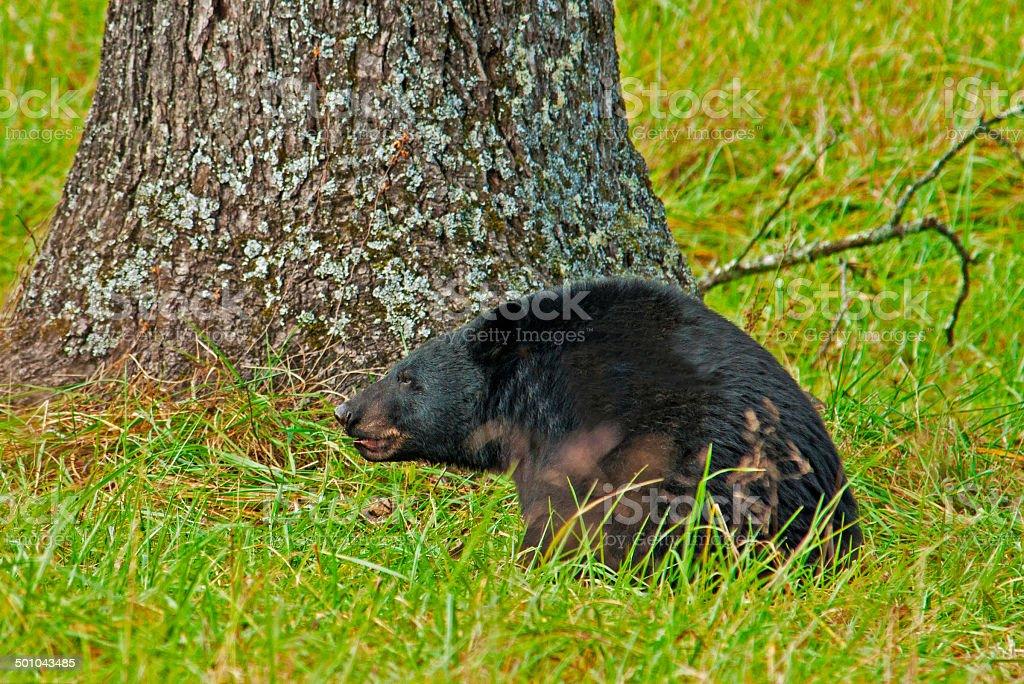 Large Black Bear  beneath a walnut tree in Cades Cove. stock photo