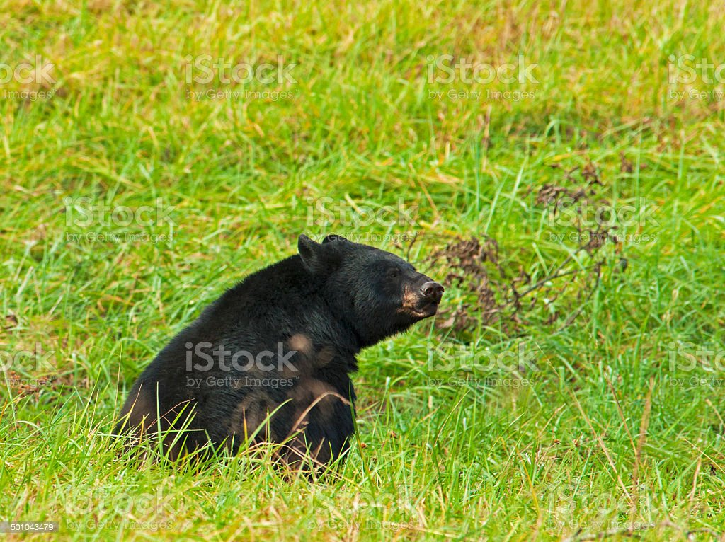 Large Black Bear in Cades Cove. stock photo