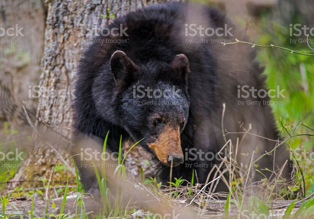 Large Black Bear in the woods. stock photo