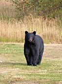 Young American Black Bear near water