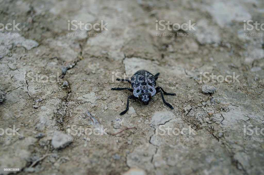 A large black beetle sits on the ground. stock photo