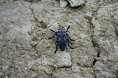 A large black beetle with white spots sits on the ground.