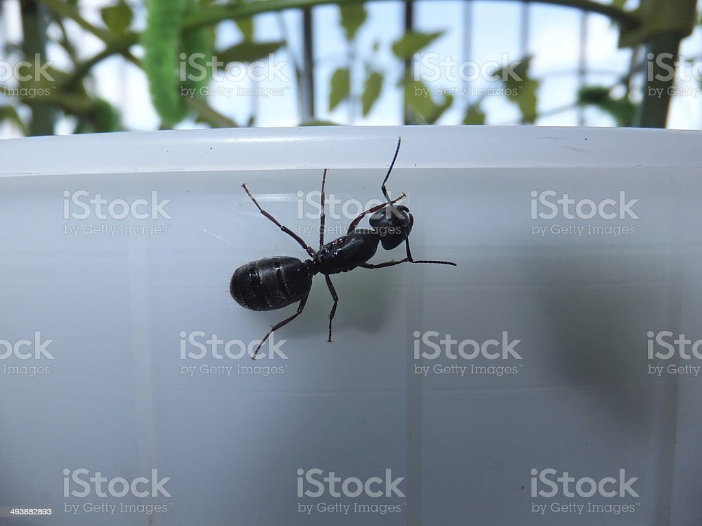 Large Black Carpenter Ant stock photo