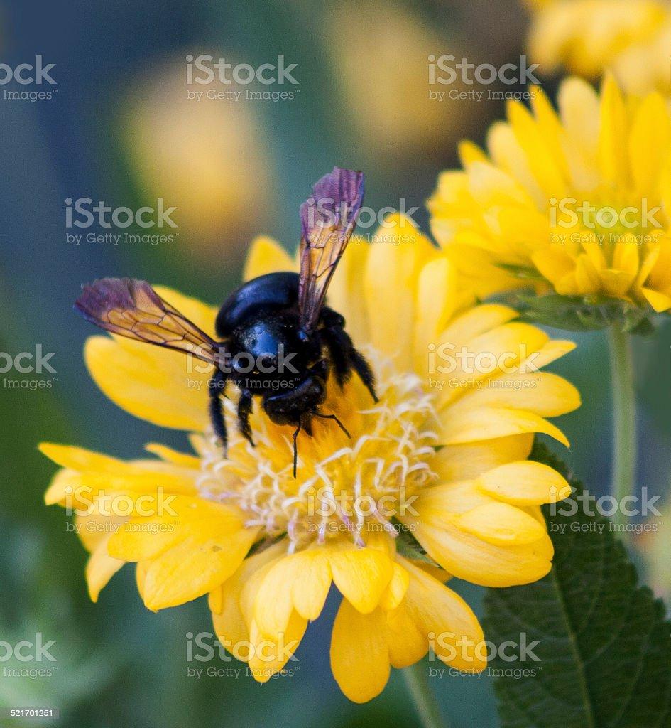 Large, Black Carpenter Bee on Yellow Flower stock photo
