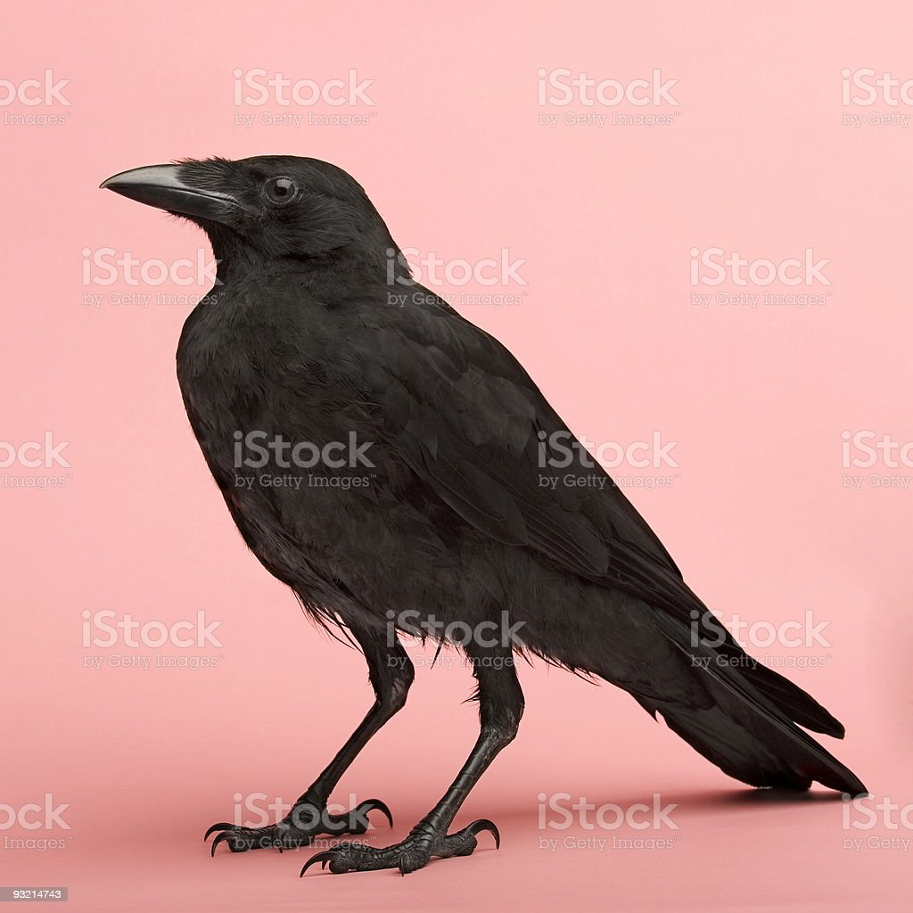Large black crow on a pink background stock photo