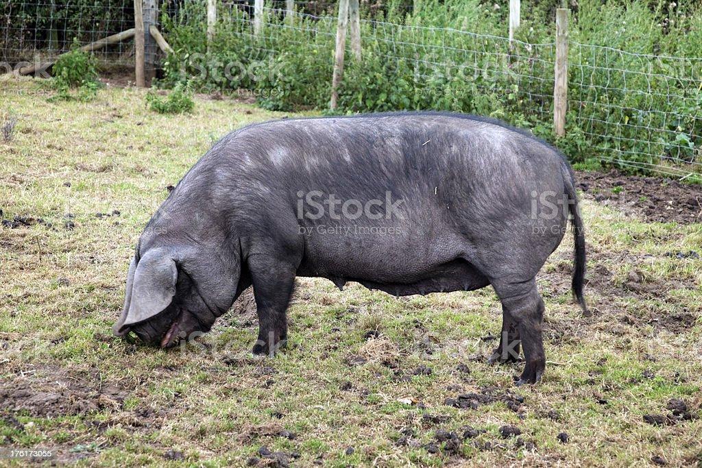 Große schwarze sow Füttern auf Gras – Foto