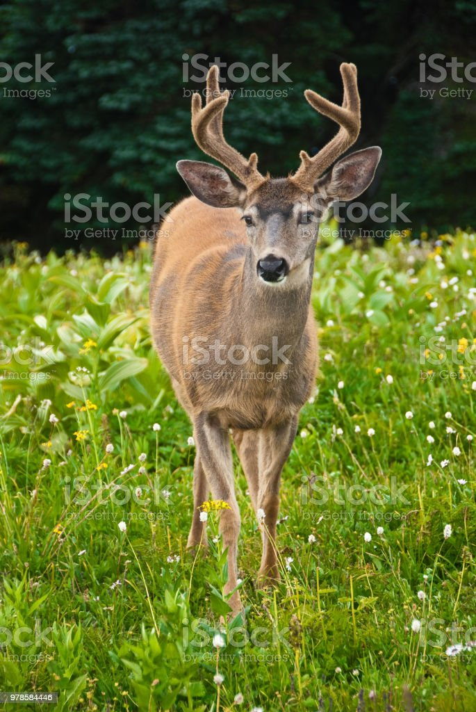 Large Blacktail Buck Walking Toward Camera stock photo