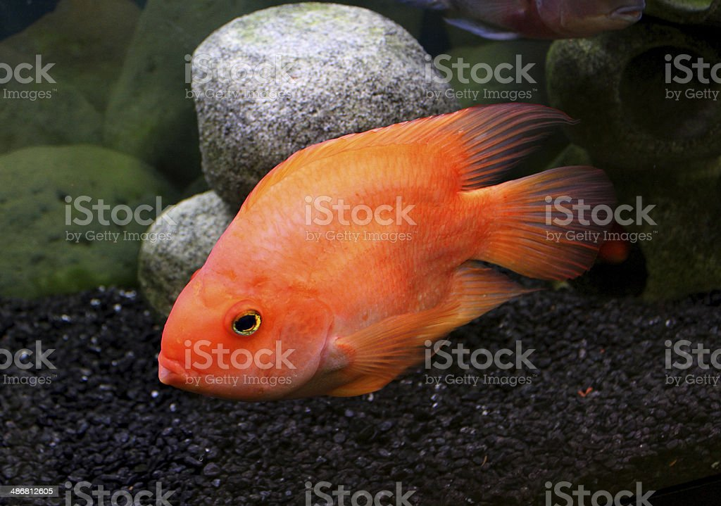 Large blood parrot fish cichlid image, in tropical aquarium tank royalty-free stock photo