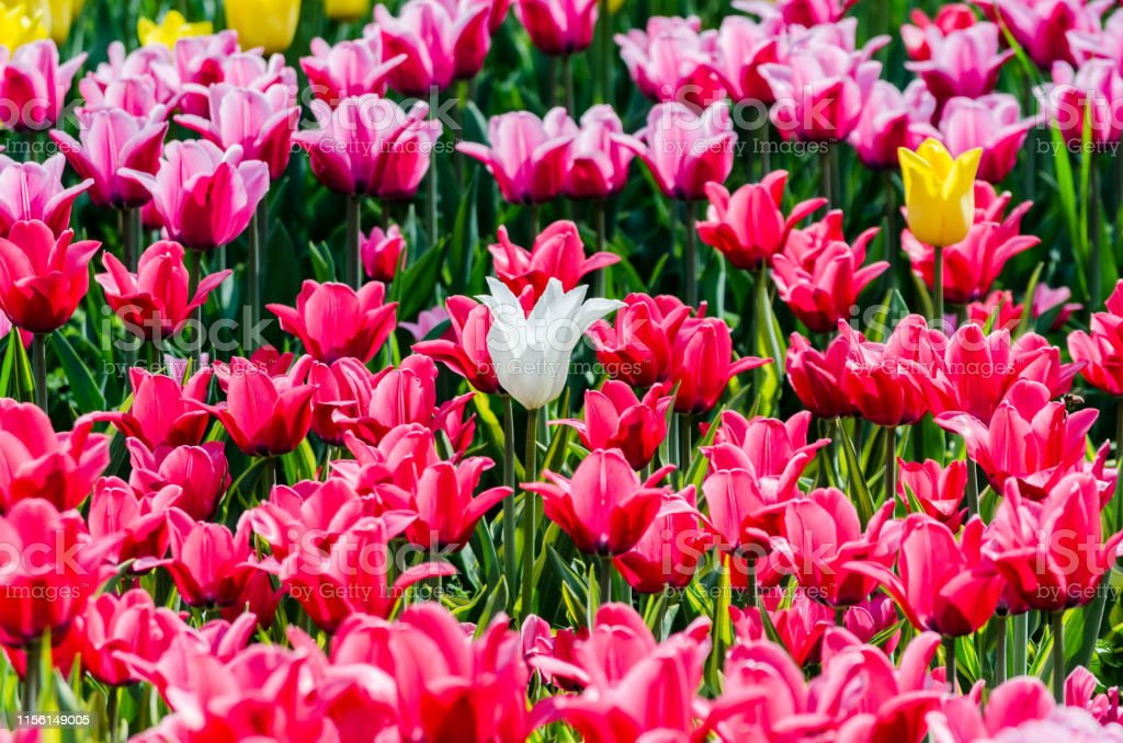 Large Blooming Flower Bed With Pink Hybrid Tulips Stock Photo