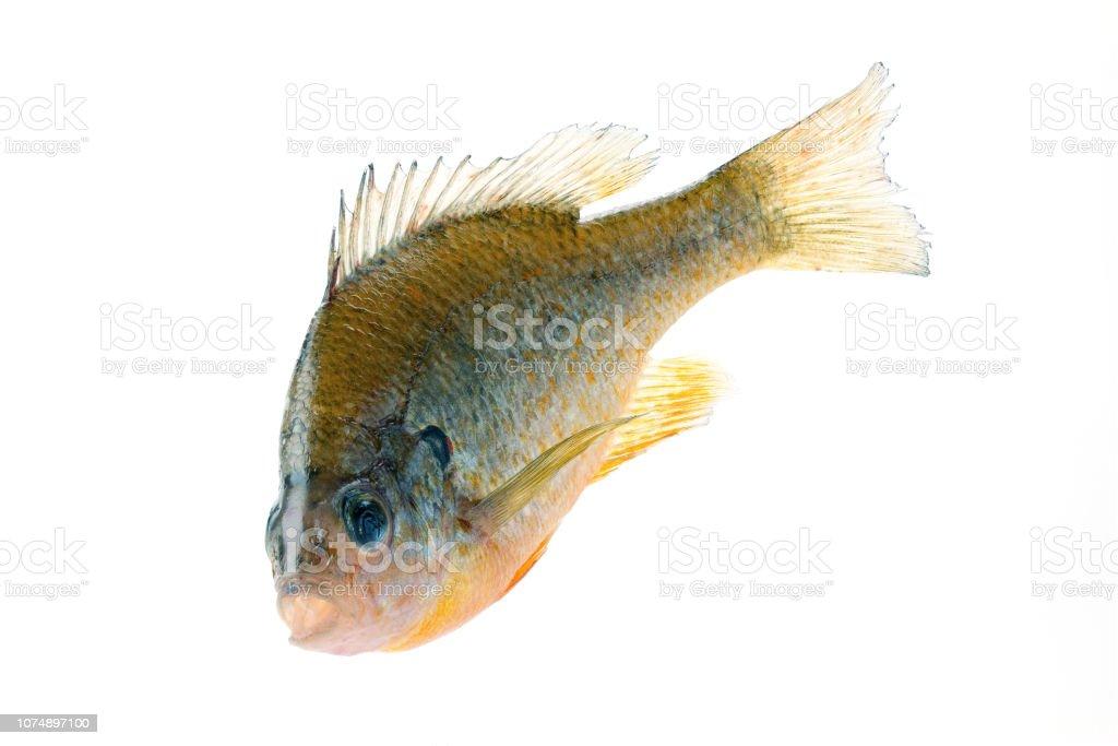 A large Bluegill sunfish (Lepomis macrochirus), close-up stock photo