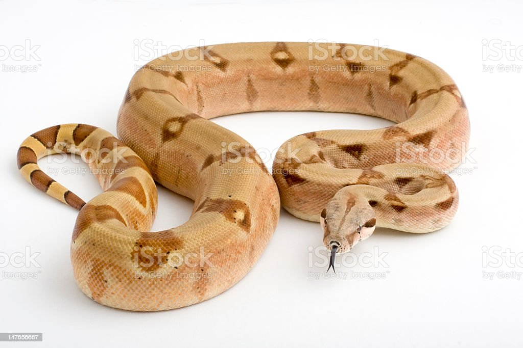A large boa constrictor imperator snake stock photo