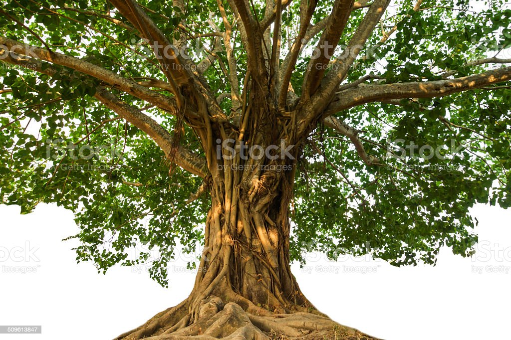 Large Bodhi tree stock photo