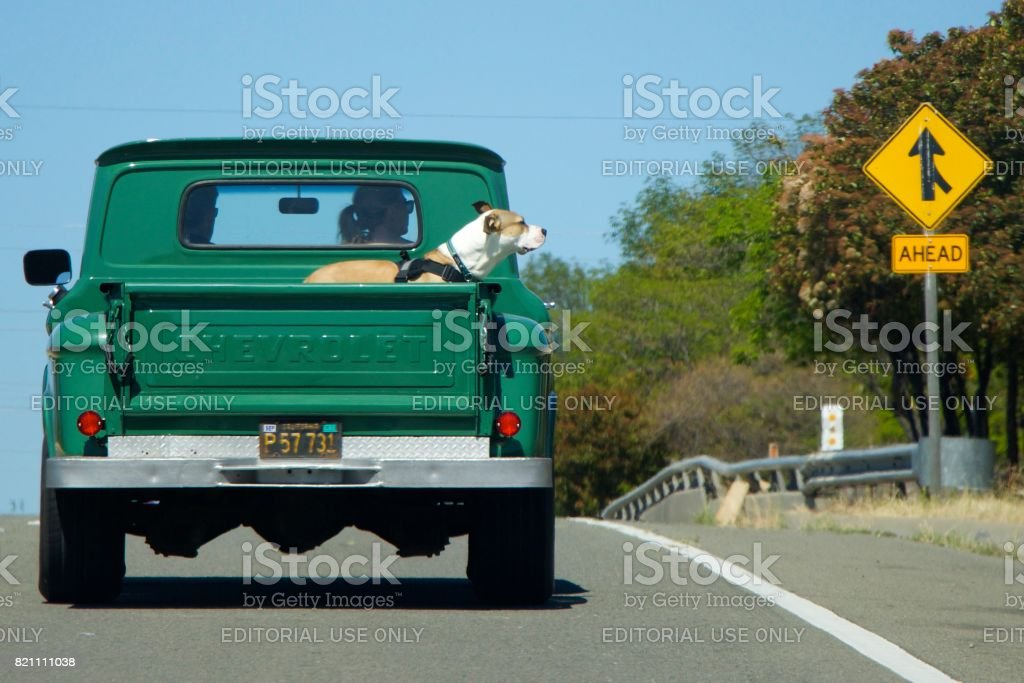 Large Boxer Dog Rides Back In The Old Pickup Truck Chevrolet Right ...