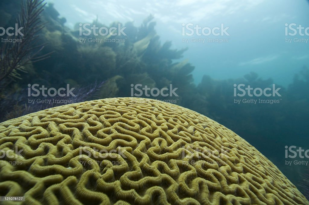 Large brain coral stock photo