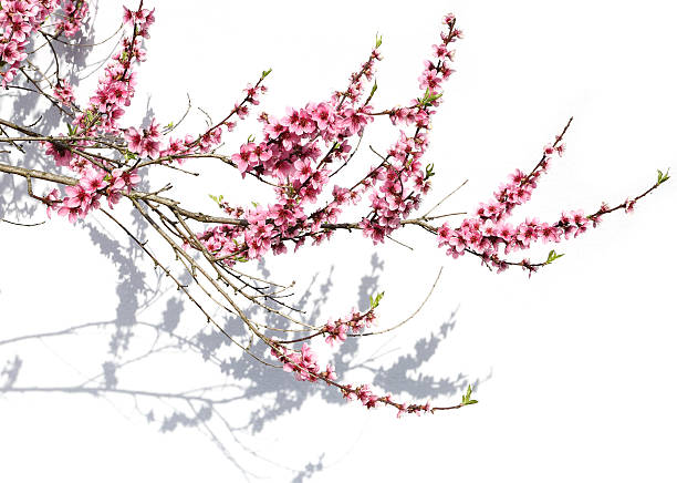 Large branch of blooming tree picture id638116020?b=1&k=6&m=638116020&s=612x612&w=0&h=ycnittaoxasvajtu30x13dyozx7dvc3lrt3zgtgspl8=
