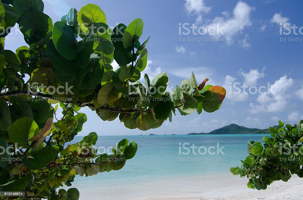 Large branch of seagrape tree near Church Valley beach stock photo