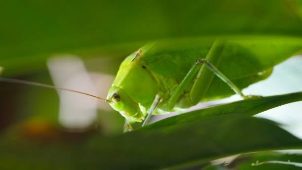 grote heldere groene sprinkhaan kijken door weelderige groene bladeren - locust swarm stockfoto's en -beelden