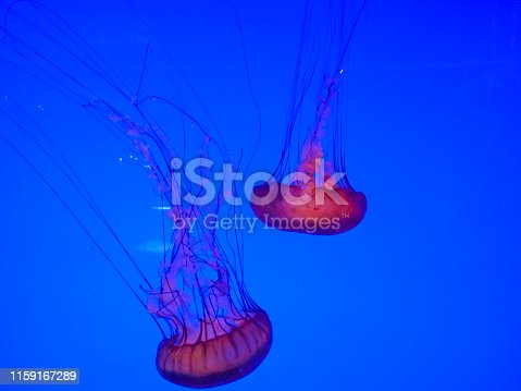 istock Large bright jellyfishes swimming in the water of aquarium 1159167289