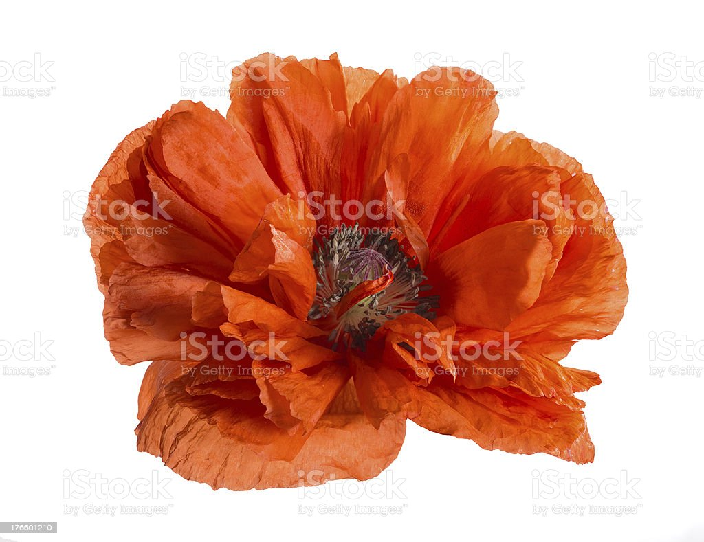 large bright red poppy isolated on white royalty-free stock photo