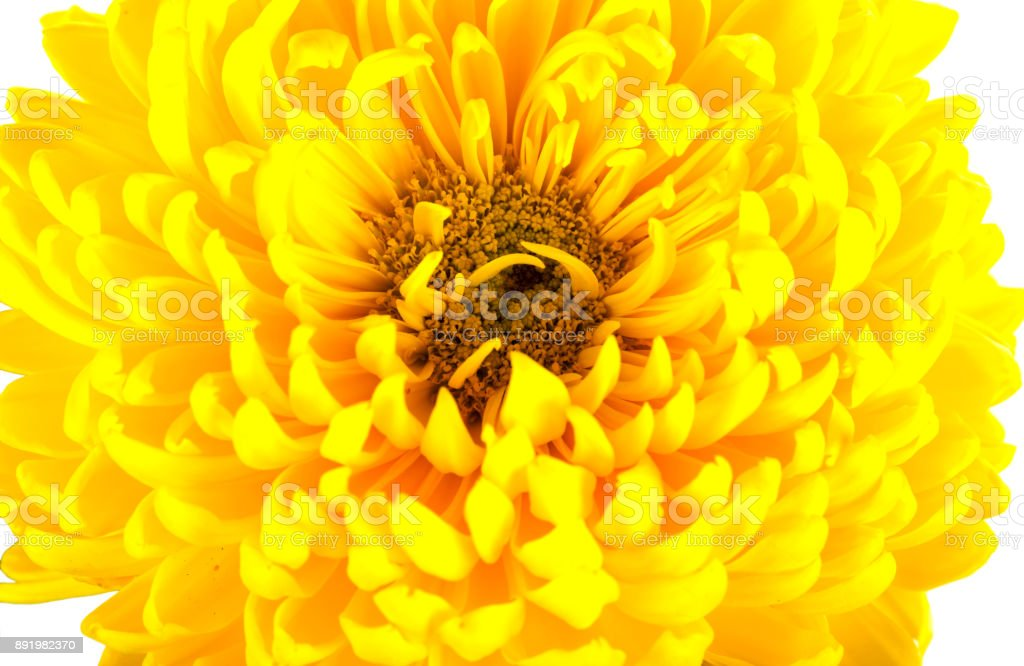 Large bright yellow chrysanthemums on white background. One big flower head with petals, pistils, stamens. Close shot. stock photo