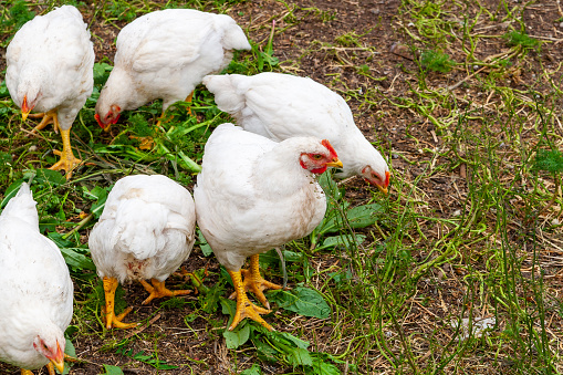 Broiler chickens in the village courtyard Raising chickens. Large broiler chickens feed on green grass.