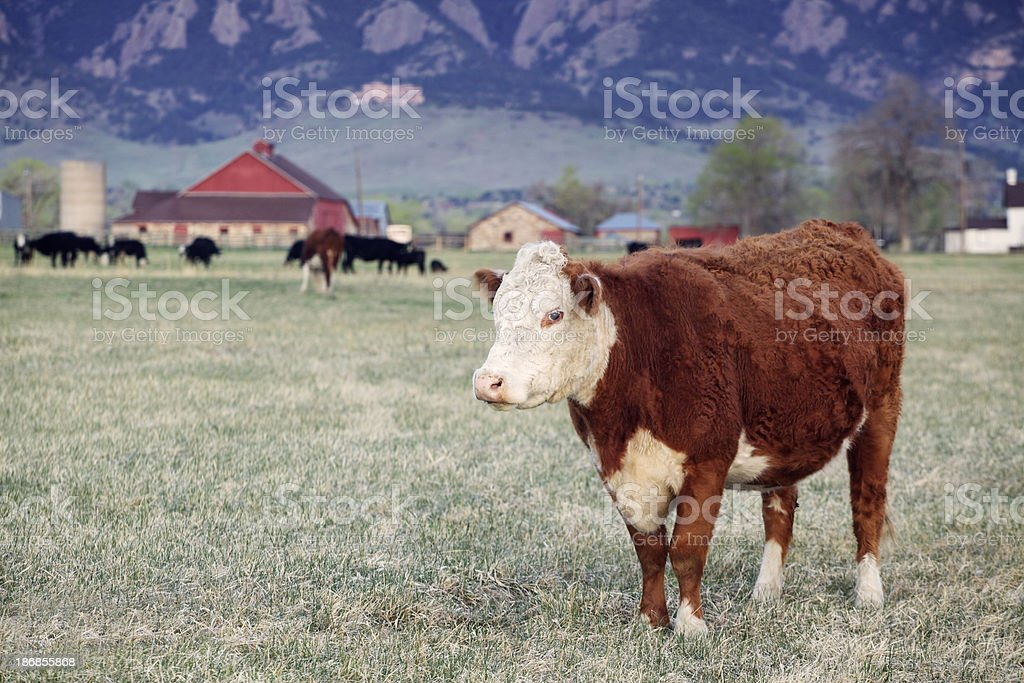 Large Brown and White Cow in Field with Red Barn stock photo