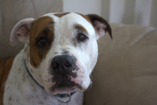 Large brown and white mixed breed dog stock photo