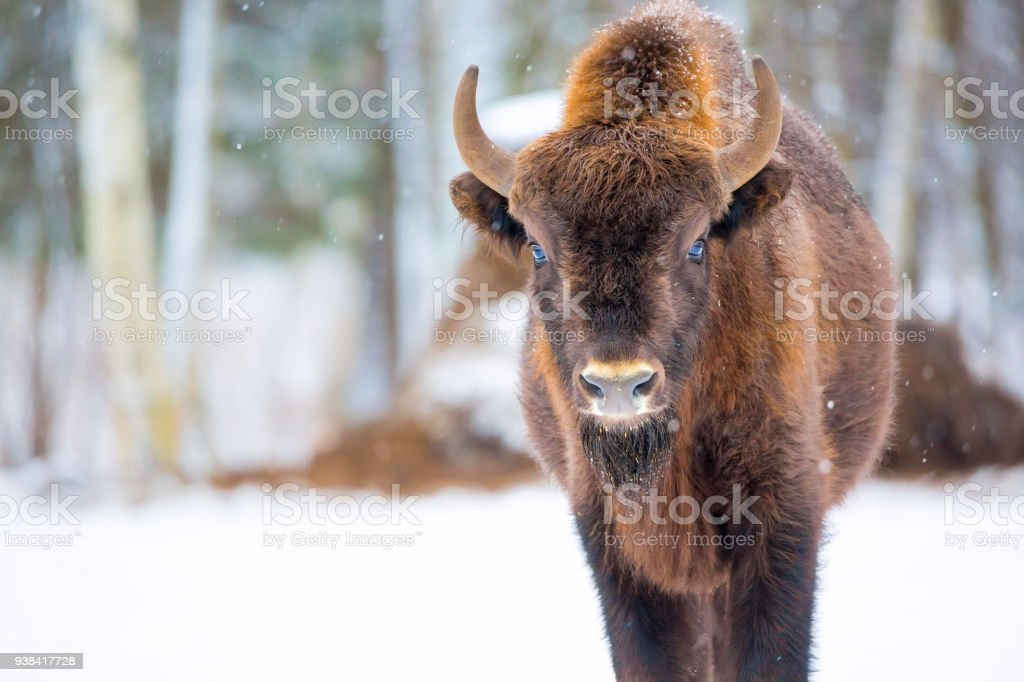 Große braune Bison Wisent Porträt in der Nähe von Winterwald mit Schnee. Herde von europäischen Auerochsen Bison Bison Bonasus. Natur-Lebensraum – Foto