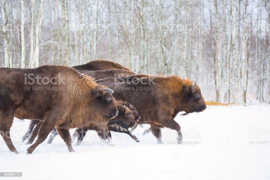 Grand brun Bison bison d'Europe en cours d'exécution dans la forêt d'hiver avec la neige. Troupeau d'Aurochs européen Bison, Bison Bonasus. Habitat de la nature. Mise au point sélective - Photo