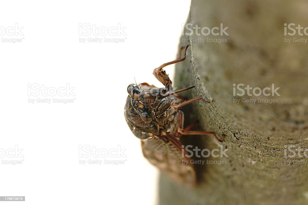 Large Brown Cicada royalty-free stock photo