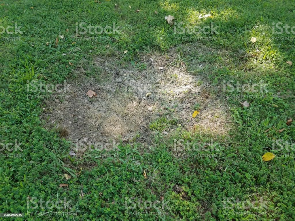 large brown depression in green grass stock photo