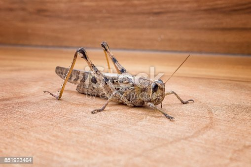 A Large Brown Grasshopper, Locust In Peru