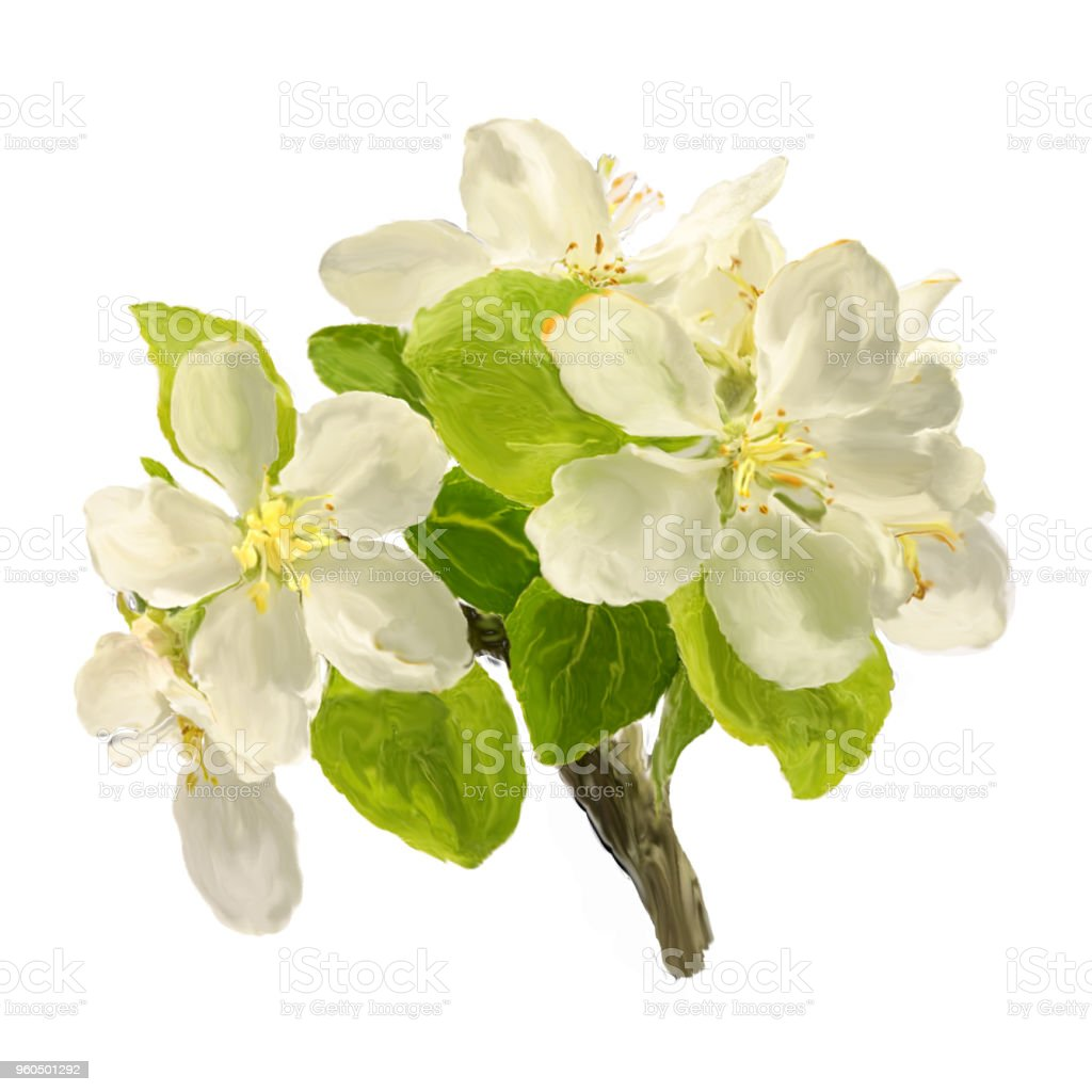 large brush strokes branch of white blossoming apple flowers isolated on white background. stock photo