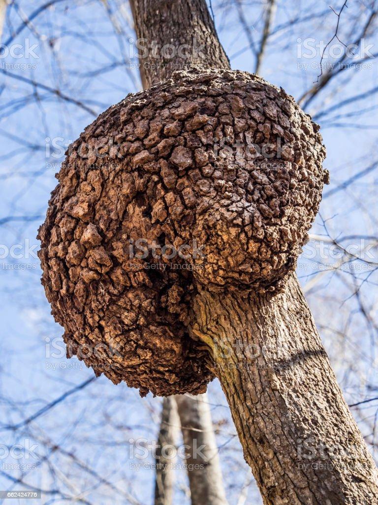 Large Bulge on Tree Trunk stock photo