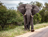 Large bull African Elephant in musth, flapping its ears while walking along road in Kruger National Park, South Africa.