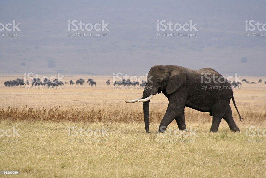 대형 Bull Elephant in Ngorongoro 분화구, 탄자니아 royalty-free 스톡 사진