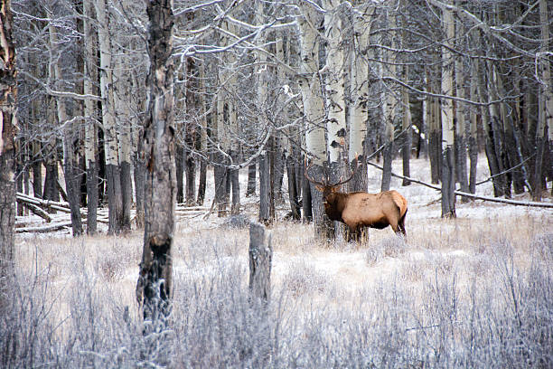 Large bull elk cut from herd,  aspen forest, Banff, winter stock photo