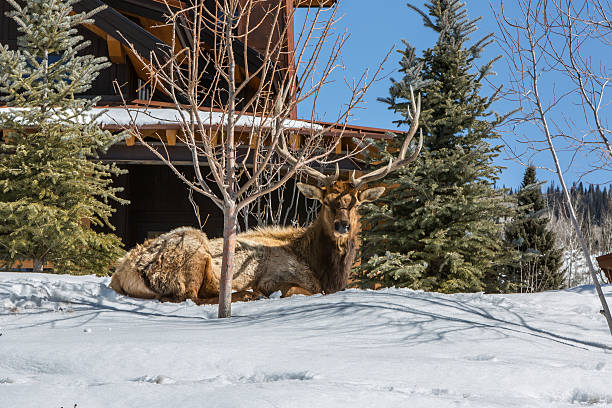 Large Bull Elk Resting is the Snow stock photo