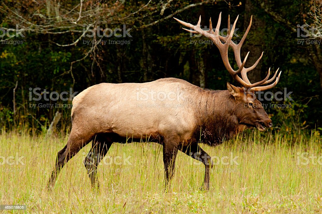 Large Bull Elk With Huge Antlers Stock Photo & More Pictures of 2015 ...