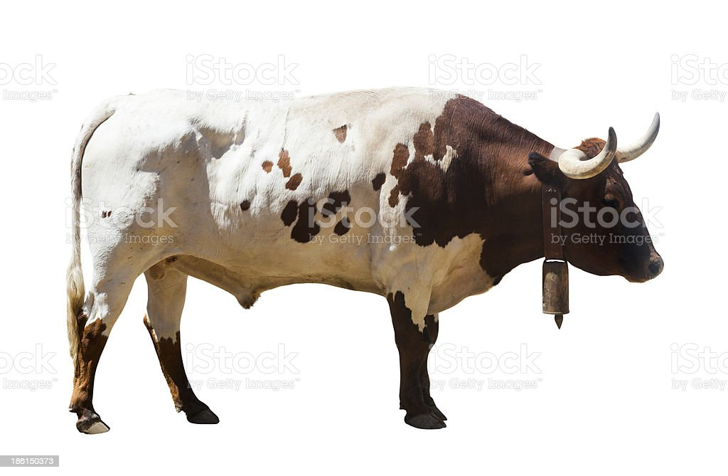 large bull, isolated over white background royalty-free stock photo