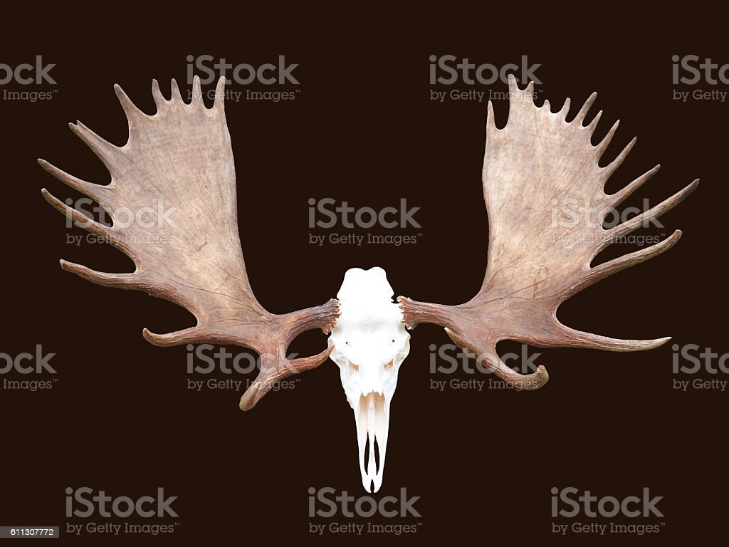 Large Bull Moose Antlers Horns Isolated Animal Skull stock photo