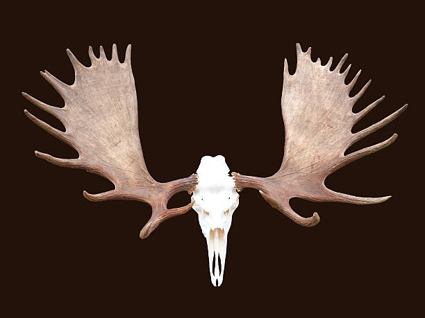 large bull moose antlers horns isolated animal skull - antlers stock photos and pictures