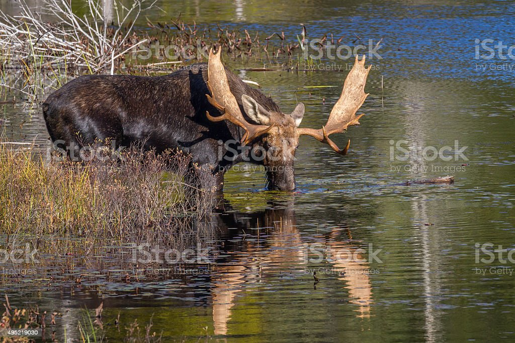 Large Bull Moose Feeding on Water Lilies in Autumn stock photo