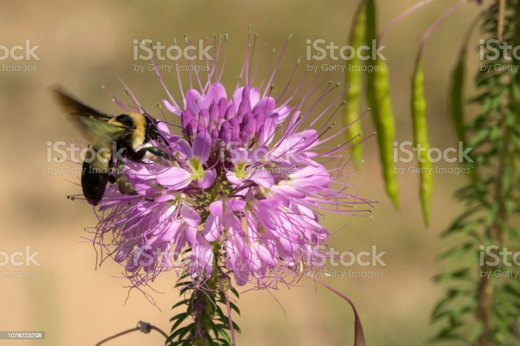 Large bumblebee beeplant flower Rocky Mountain Arsenal National Wildlife Refuge Colorado stock photo