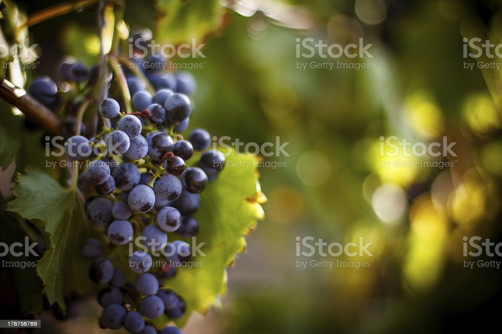 """Large bunch of red wine grapes hang from a vine """"Large bunch of red wine grapes hang from a vine, warm. Ripe grapes with green leaves. Nature background with Vineyard.  Wine concept"""" Agriculture Stock Photo"""
