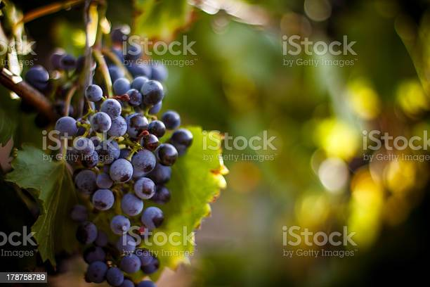 Large Bunch Of Red Wine Grapes Hang From A Vine Stock Photo - Download Image Now