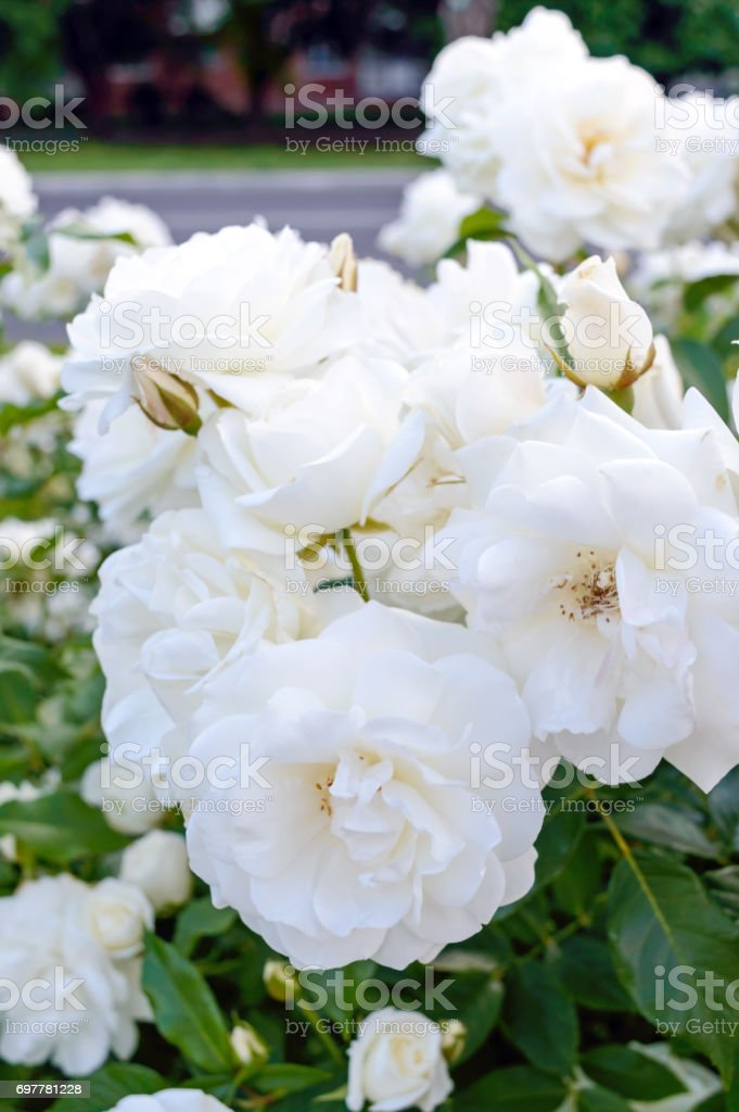 A Large Bush Of White Roses On A Background Of Nature Many Flowers ...