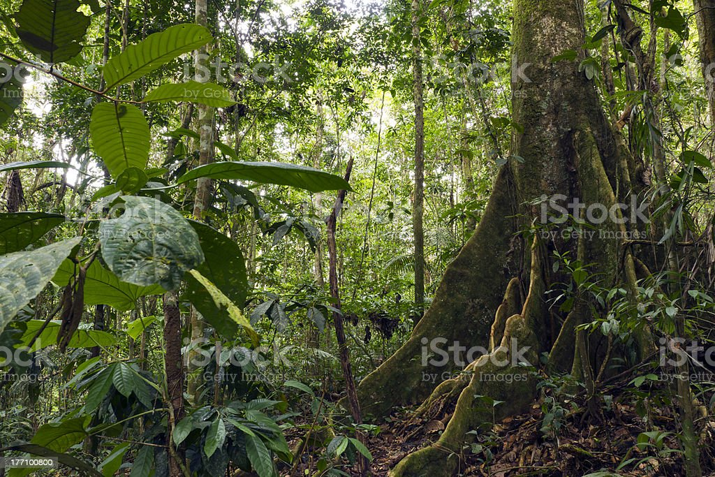 Large buttressed tree in primary rainforest stock photo