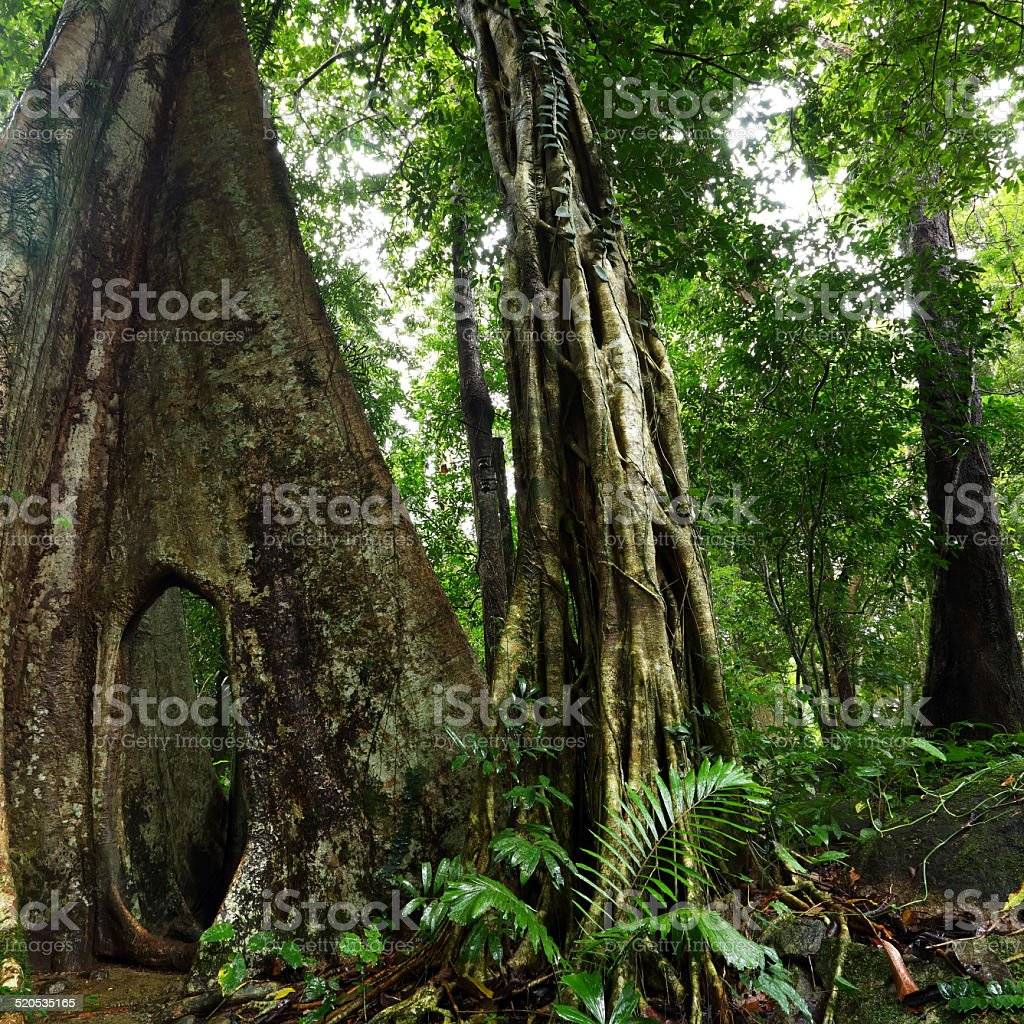Large buttressed tree stock photo